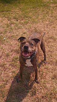 Pit Bull Terrier/American Pit Bull Terrier Mix Dog for adoption in Bakersfield, California - Reeses Pieces