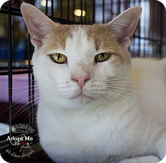 Domestic Shorthair Cat for adoption in Charlotte, North Carolina - A..  Odelle