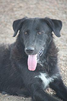 Labrador Retriever/Collie Mix Dog for adoption in Hooksett, New Hampshire - Bagheera