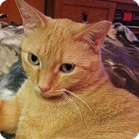 Domestic Shorthair Cat for adoption in Lombard, Illinois - Pretty Kitty