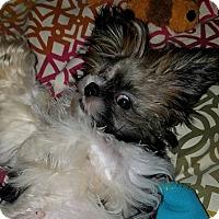 Adopt A Pet :: Gizmo - Humble, TX