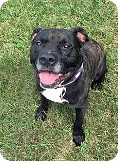 American Staffordshire Terrier/Terrier (Unknown Type, Medium) Mix Dog for adoption in Troy, Michigan - Gentleman