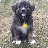 Adopt A Pet :: Abraham - Saskatoon, SK