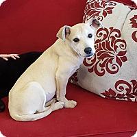 Labrador Retriever/Corgi Mix Puppy for adoption in Minot, North Dakota - Abelle