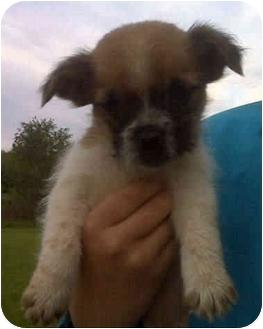 Shih Tzu/Boxer Mix Puppy for adoption in Columbus, Ohio - Marley