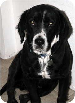 Springer Spaniel Mix Dog for adoption in Phoenix, Arizona - Lewis