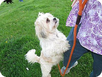 Shih Tzu Mix Dog for adoption in Norwalk, Connecticut - Carrington - adoption pending