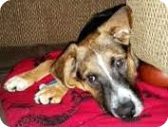 Border Collie/Shepherd (Unknown Type) Mix Puppy for adoption in Toledo, Ohio - Anthony