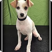 Adopt A Pet :: Ollie - Indian Trail, NC