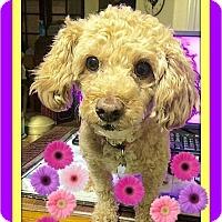 Adopt A Pet :: Bella - Rancho Cucamonga, CA