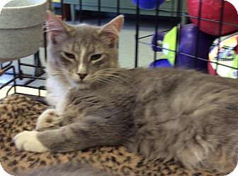 Domestic Mediumhair Cat for adoption in Port Republic, Maryland - Corey