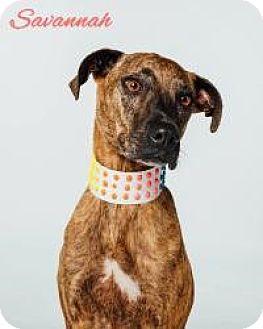 Greyhound/Boxer Mix Dog for adoption in Houston, Texas - Savannah