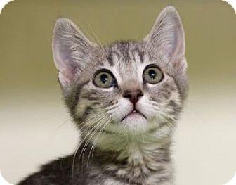 Domestic Shorthair Kitten for adoption in Red Bluff, California - Sophia