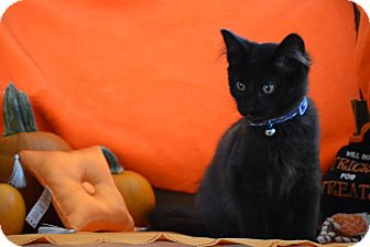 Domestic Shorthair Kitten for adoption in Manhattan, Kansas - Sylvester