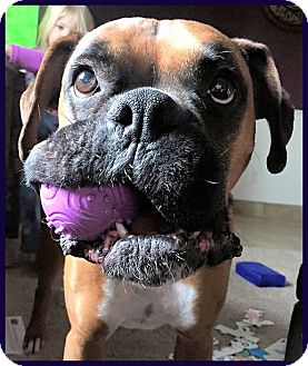 Boxer Dog for adoption in Boise, Idaho - BOGEY