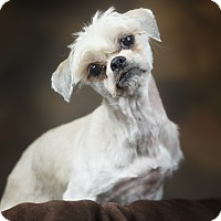Shih Tzu Mix Dog for adoption in Anchorage, Alaska - Sassy