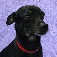 Chihuahua Mix Dog for adoption in Garland, Texas - Pepper