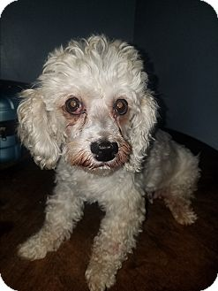 Poodle (Miniature) Mix Dog for adoption in Detroit, Michigan - Bebe
