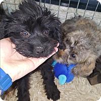 Adopt A Pet :: Tulip - Brownsville, TX