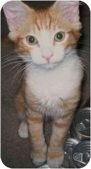 Domestic Mediumhair Kitten for adoption in Elverta, California - Milo