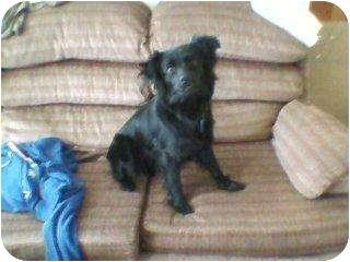 Pomeranian/Labrador Retriever Mix Dog for adoption in Bloomsburg, Pennsylvania - Lily