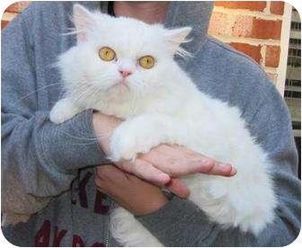Persian Cat for adoption in McDonough, Georgia - Scottie