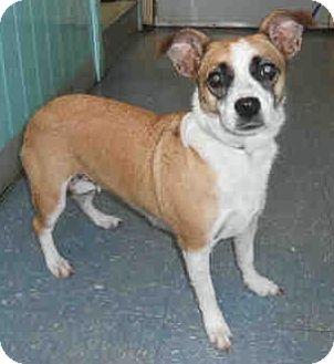 Corgi/Jack Russell Terrier Mix Dog for adoption in geneva, Florida - Mila