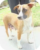Feist/Terrier (Unknown Type, Small) Mix Dog for adoption in Staunton, Virginia - Maddie