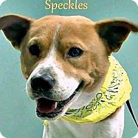 Adopt A Pet :: SPECKLES - Sardis, TN