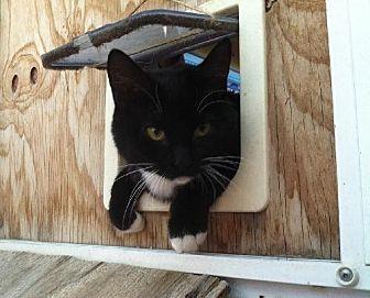 Domestic Shorthair Cat for adoption in Sherman Oaks, California - Kia - FeLV+