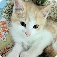 Adopt A Pet :: Chowder - Trevose, PA