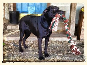 Labrador Retriever Mix Dog for adoption in Columbia, South Carolina - Milly