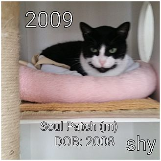 Domestic Shorthair Cat for adoption in Smithtown, New York - Sole Patch