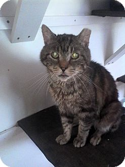 American Shorthair Cat for adoption in Medford, New York - Malcolm