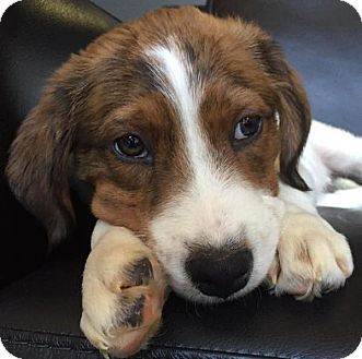 Spaniel (Unknown Type) Mix Puppy for adoption in CUMMING, Georgia - Tramp