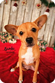 Miniature Pinscher/Corgi Mix Puppy for adoption in San Antonio, Texas - Bambi