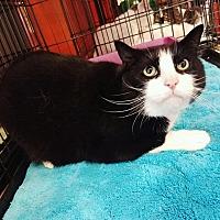Adopt A Pet :: Scamp - Cerritos, CA