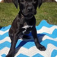 Adopt A Pet :: Zane - Detroit, MI