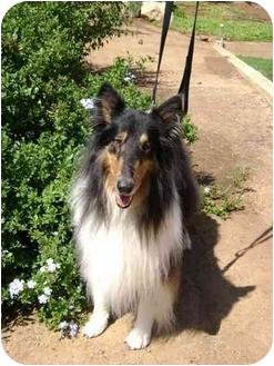 Collie Dog for adoption in Trabuco Canyon, California - Blackjack