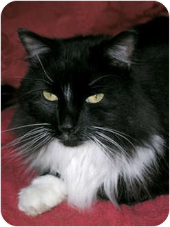 Maine Coon Cat for adoption in Lakeland, Florida - Sylvester