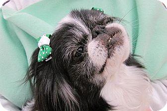 Japanese Chin Dog for adoption in Aurora, Colorado - Talullah