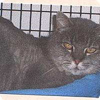 Adopt A Pet :: Gray-C - El Cajon, CA