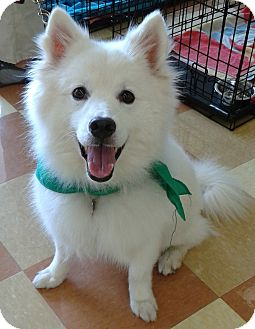 American Eskimo Dog Mix Dog for adoption in St. Louis, Missouri - Precious