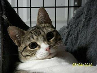 Domestic Shorthair Cat for adoption in San Jose, California - Care Bear