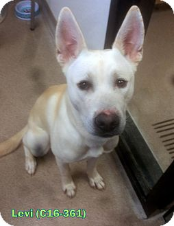 German Shepherd Dog/Pit Bull Terrier Mix Dog for adoption in Tiffin, Ohio - Levi
