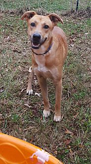 Labrador Retriever Mix Dog for adoption in Gainesville, Georgia - Scooby