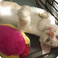 Adopt A Pet :: Cornflake- - Whitestone, NY
