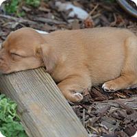 Adopt A Pet :: Libby Lips - Atlanta, GA