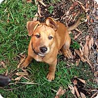 Adopt A Pet :: Bear - Miami, FL