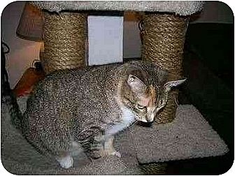 Domestic Shorthair Cat for adoption in Sheboygan, Wisconsin - Annabelle